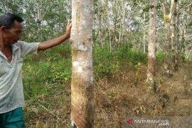 Rp7.000/Kg harga jual karet tingkat petani di Aceh Barat masih rendah