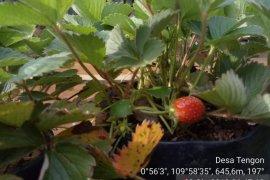 BP2K Landak kembangkan tanaman Strawberry di Tengon - Bentiang