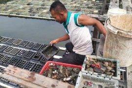 Harga kepiting soka turun hingga 90 ribu per kilogram