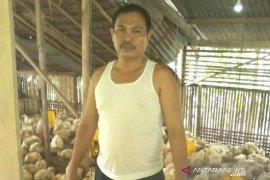Puluhan peternak ayam di Nias terancam gulung tikar