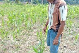 Kemarau, sebagian petani Mukomuko belum tanam jagung bantuan pemerintah