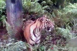 Bukan macan tutul, Kuswanto warga Lahat tewas ternyata diterkam harimau
