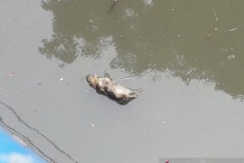 Puluhan bangkai babi mengambang  di Sungai Bederah Medan