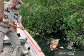 Pemkot belum terima laporan kematian ternak babi di Padangsidimpuan