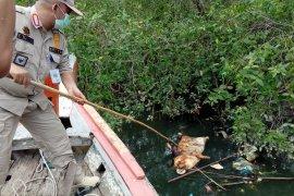Akibat virus Hog Cholera, 4.682 ekor babi mati  di Sumut