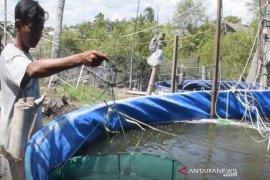 PNS Aceh Timur sukses manfaatkan lahan rumah untuk budidaya udang Vaname