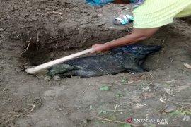 Puluhan ekor babi mati di Tapanuli Selatan terjangkit virus Hog Cholera