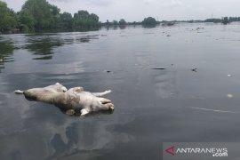 Bangkai babi berserakan di Danau Siombak, Polisi selidiki sejumlah peternakan