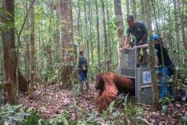 BKSDA Kalbar-IAR Indonesia kembali lepasliarkan satu orangutan