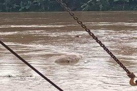 Babi mati juga dihanyutkan di Sungai Wampu Stabat Kabupaten Langkat