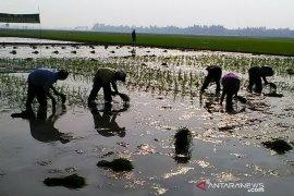 Dinas Pertanian Karawang waspadai serangan hama tanaman