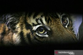 Pengamat: Harimau  tidak bermaksud meresahkan manusia