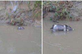 Bangkai babi hanyut kembali ditemukan di Sungai Wampu Langkat