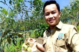 Petani Rejang Lebong budidayakan tanaman apel