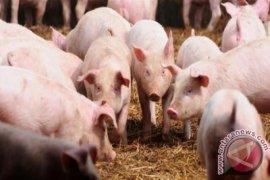 Kementerian Pertanian akan mengisolasi daerah terjangkit virus Kolera Babi