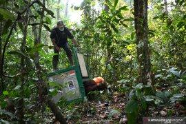 17 orangutan dilepasliarkan ke Taman  Nasional Bukit Baka-Bukit Raya