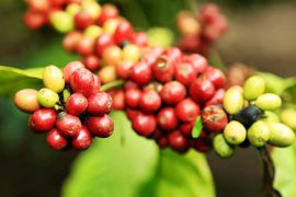 Luas areal tanam kopi organik di Lumajang akan ditambah