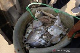 Warga kumpulkan ikan mati dekat saluran limbah PLTU Bengkulu