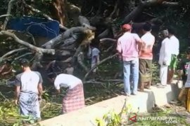 Seorang warga Sampang tewas tertimpa pohon tumbang