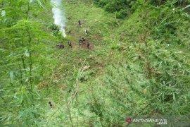 7 hektar ladang ganja kembali dimusnahkan di Madina