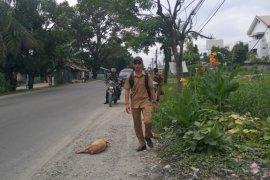 Bangkai babi kembali dibuang di pinggir jalan di Kota Medan