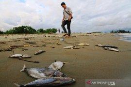 Bangkai Ikan tongkol berceceran di pantai Meulaboh Aceh