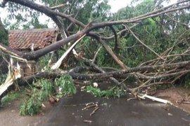 Pohon tumbang di Rangkasbitung diterjang hujan lebat disertai angin kencang