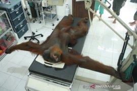 Orangutan dengan puluhan peluru di tubuh jalani perawatan intensif