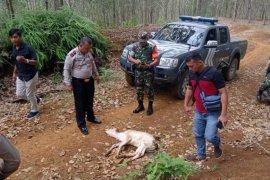 Harimau mengamuk di Tapanuli Selatan, lima sapi diduga jadi korban