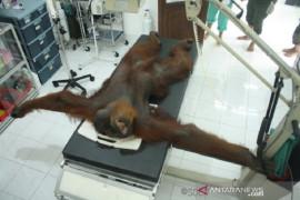 Seekor orangutan Sumatera ditembak liar, 24 peluru bersarang di tubuh