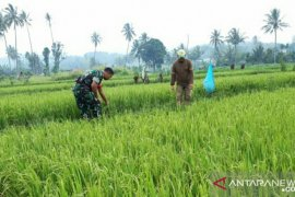 Babinsa Koramil 18/Pargarutan bantu petani nyiangi padi