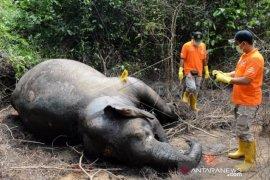 Konflik gajah liar dengan manusia kerap terjadi di daerah ini