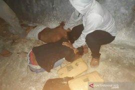 Polres Padangsidimpuan bekuk pengedar 11 kg ganja