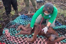 Sembilan orangutan dampak karhutla diselamatkan BKSDA Kalbar-IAR