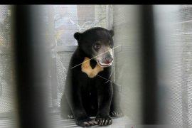 Seorang pemuda warga OKU tewas diserang beruang madu