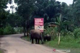 Warga heboh, induk gajah bersama anaknya berkeliaran di tepi jalan