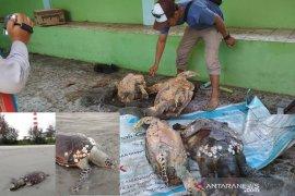 4 ekor penyu mati disekitar pantai area pembuangan limbah PLTU