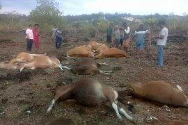 14 ekor sapi tewas tersambar petir