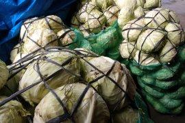 Petani Aceh keluhkan harga sayuran kol anjlok Rp700 per kilogram