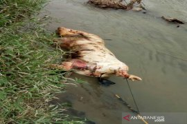 Bangkai babi ditemukan di Sungai Padang Tebing Tinggi