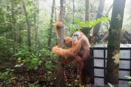 Seekor Orangutan Tapanuli dilepasliarkan di cagar alam Sibual-buali