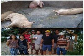 Lagi belasan babi mati, warga protes kepada Dinas Pertanian