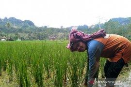 Varietas unggul nasional padi Siporang buka potensi kesejahteran petani Tapsel