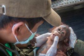 Satu anak orangutan kembali dievakusi di Ketapang