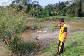 Polres kuburkan 4 bangkai babi yang dibuang di Sungai Segiling