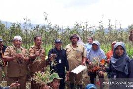 Produktivitas bawang merah pengembangan Kementan di Tapsel capai 11 ton per hektare