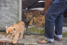 Polda Riau tangkap dua tersangka jaringan penyelundup bayi singa