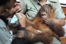 BKSDA Bali translokasi orangutan ke SOCP Sumatera Utara