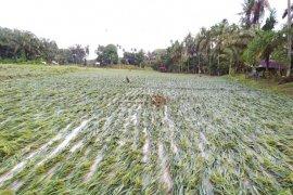 30 hektare tanaman padi dan jagung terdampak banjir Kuala Langkat