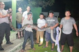 Warga Hinai Langkat temukan ular python 4,5 meter